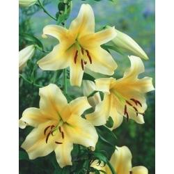 شجرة زنبق ليليوم Orania - لمبة / درنة / الجذر - Lilium