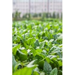 Шпинат - Winter Giant - 800 семена - Spinacia oleracea L.