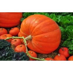 Atlantic Giant Pumpkin seeds - Cucurbita maxima - 12 seeds