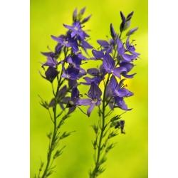 Speedwell Royal Blue seeds - Veronica teucrium - 300 seeds