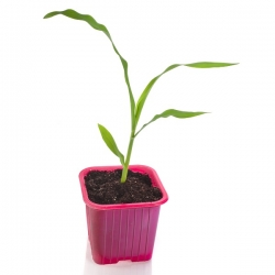 Pink 6 x 6 cm square nursery pot - 30 pieces