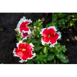 Roosivalge Petunia seemned - Petunia x hybrida - 80 seemnet