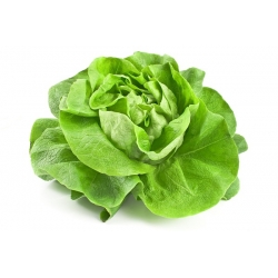Lettuce May Queen seeds - Lactuta sativa - 1050 seeds
