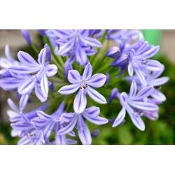 Agapanthus, Lily of Nil Blue - čebulica / gomolj / koren