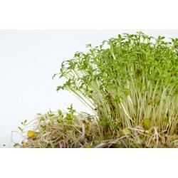 Hạt cải xoong (Rau mầm) - 4500 hạt - Lepidium sativum