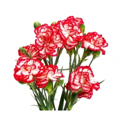 Raspberry Ripple Carnation seeds - Dianthus caryophyllus - 110 seeds