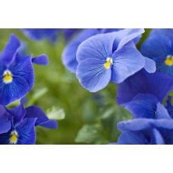 Võõrasema - Celestial Blue - sinine - 400 seemned - Viola x wittrockiana