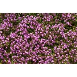 Черемха повзуча, Breckland Насіння чебрецю - Thymus serpyllum - 750 насіння