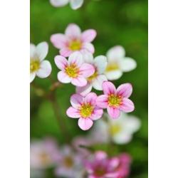 Saxifraga mixed seeds - Saxifraga arendsii - 2000 seeds