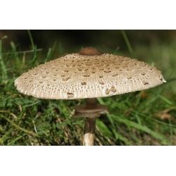 Macrolepiota procera - 3 kg