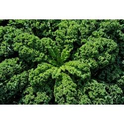 Кудрявая капуста - Dwarf Green Curled - 300 семена - Brassica oleracea L. var. sabellica L.