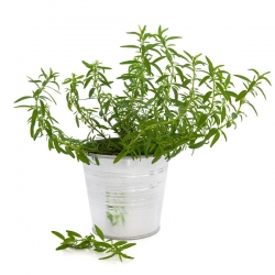 Насіння ісопу - Hyssopus officinalis - 200 насінин - насіння