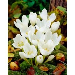 Album Colchicum - Autumn Meadow Saffron Album - bebawang / umbi / akar
