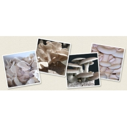 Oyster mushroom for cultivation on your own - 3 kg