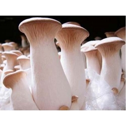 "King trumpet mushroom; French horn mushroom, king oyster mushroom, king brown mushroom, boletus of the steppes, trumpet royale, ali""i oyster"