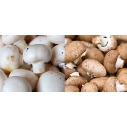 Agaricus bisporus - 10 kg - hvit&brun