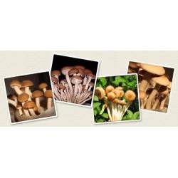 Poplar mushroom; velvet pioppini, Yanagi-matsutake