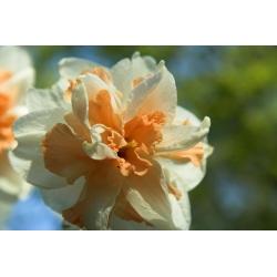 Narcissus Delnashaugh - narcis Delnashaugh - 5 kvetinové cibule