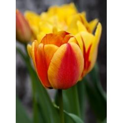 Тюльпан Apeldoorn's Elite - пакет из 5 штук - Tulipa Apeldoorn's Elite