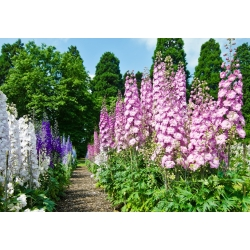 Larkspur mixed colours seeds - Delphinium consolida - 350 seeds