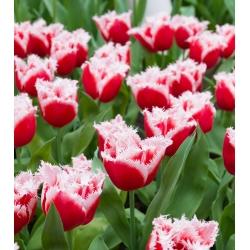 Тюльпан Canasta - пакет из 5 штук - Tulipa Canasta