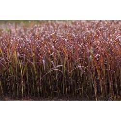 Орнаментал Рице Блацк Мадрас семена - Ориза Сатива - Oryza sativa 'Black Madras'