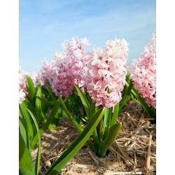 Hyacinthus China Pink - Hyacinth China Pink - 3 củ