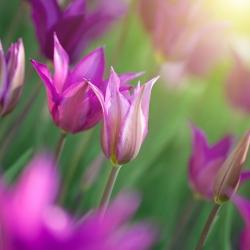 Tulipa Maytime - Tulip Maytime - 5 lampu