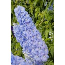 Dwarf Delphinium mixed colours seeds - Delphinium elatum