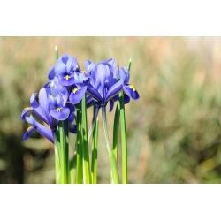 Iris Botanical Harmony - 10 bulbs