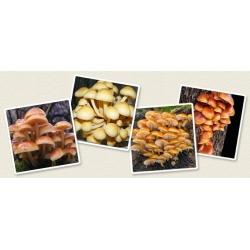 Enokitake, enoki, futu; golden needle mushroom, Futu Mushroom, lily mushroom, seafood mushroom, winter mushroom, winter fungus, velvet foot, velvet stem, velvet shank