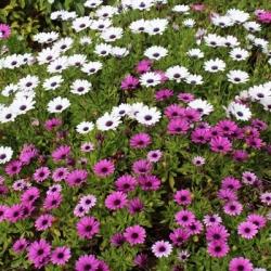 African Daisy seeds - Osteospermum ecklonis - 35 seeds