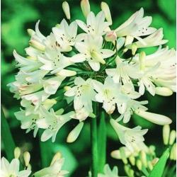 Agapanthus, Lilija Nila Bela - čebulica / gomolj / koren