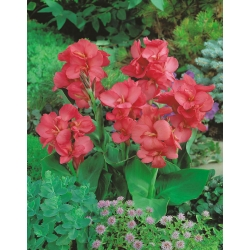Canna Orchid