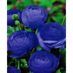 Gundegas - zils - 10 gab. Iepakojums - Ranunculus