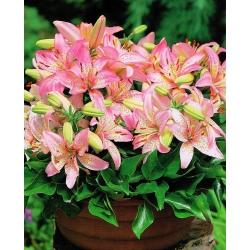 Lilium, Lily Pink Pixie - bebawang / umbi / akar - Lilium Pink Pixie