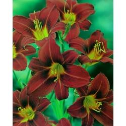 Hemerocallis, Hoàng tử đen Daylily - củ / củ / rễ - Hemerocallis hybrida Black Prince