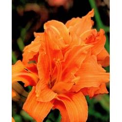 Hemerocallis, Daylily Entender - củ / củ / rễ - Hemerocallis hybrida Entendre
