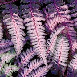 Athyrium Burgundy Lace - củ / củ / rễ