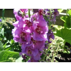 Perennial Mullein mixed seeds - Verbascum sp. - 700 seeds