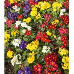 Primrose, angol Primrose mix magok - Primula acaulis - 140 mag