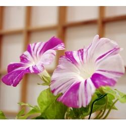 Ипомея пурпурная - Arlekin - 35 семена - Ipomoea purpurea