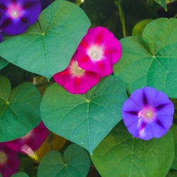 Lehtertapp - Ipomoea purpurea - seemned