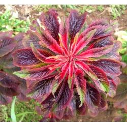 Joseph's Coat mixed seeds - Amaranthus tricolor - 140 seeds