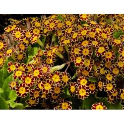 Primrose Gold Lace seeds - Primula elatlor - 36 seeds