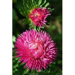 Needle Aster mixed seeds - Callistephus chinensis - 500 seeds