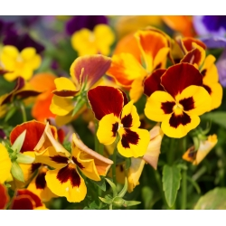 Pansy Matrix Yellow Blotch hạt - Viola x wittrockiana - 400 hạt