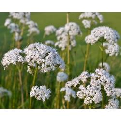 Anís verde - 200 semillas - Pimpinella anisum