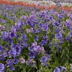 Szagos bükköny - kék - 36 magok - Lathyrus odoratus