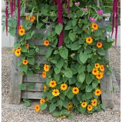 Black-Eyed Susan Vine seeds - Thunbergia alata - 28 بذور - ابذرة